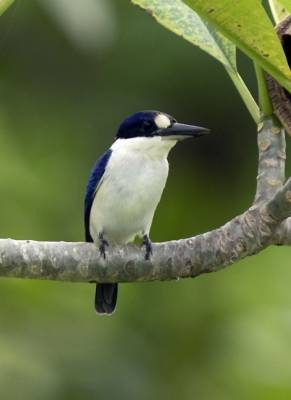 b2ap3_thumbnail_Woodland-Kingfisher-Madang-PNG-Jan-2020-JJC-1000.jpg