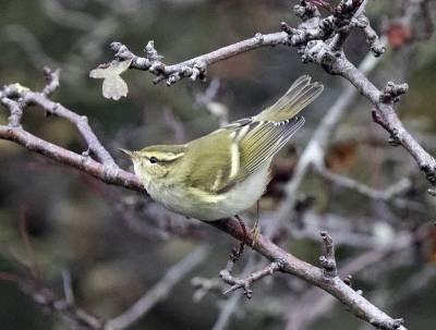 b2ap3_thumbnail_Yellow-Browed-Warbler-800-Sammys-Point-241016.jpg