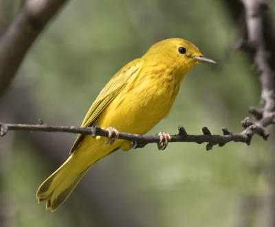 b2ap3_thumbnail_Yellow-Warbler-Tortola-800.jpg