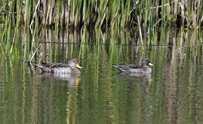 b2ap3_thumbnail_Yellow-billed-Pintail-and-Speckled-Teal-Posada-del-Paque-800-JJC.jpg