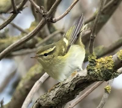b2ap3_thumbnail_Yellow-browed-Warbler-Sammys-Point-800-JJC.jpg