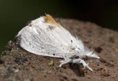 b2ap3_thumbnail_Yellow-tail-moth-garden-250617-800.jpg