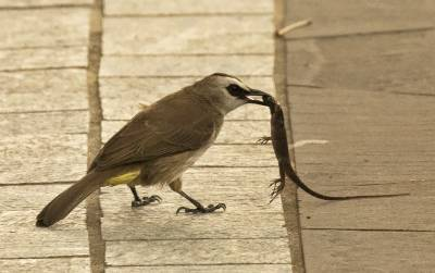 b2ap3_thumbnail_Yellow-vented-Bulbul-with-lizard-prey-2-Singapore-160318-800-JJC.jpg