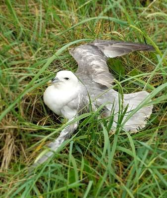 b2ap3_thumbnail_injured-Fulmar.jpg